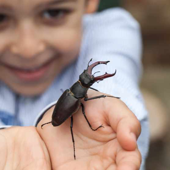 Young boy holding a stag beetle