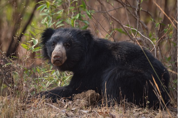 Sloth bear lying in bushes. Bears are some of the most dangerous mammals