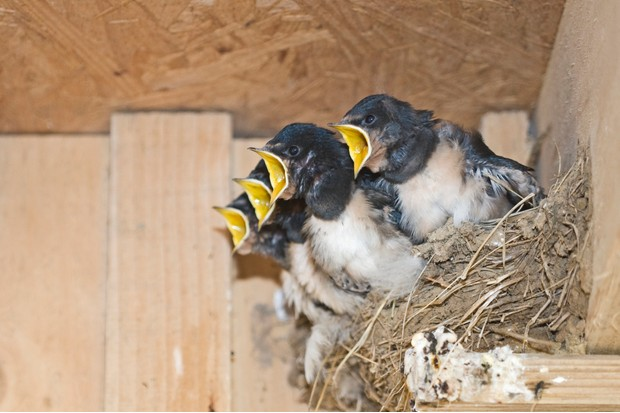 Barn swallow chicks in nest. © David Tipling/Getty