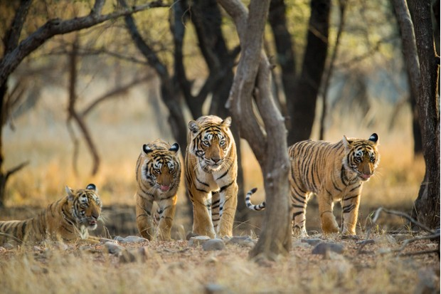 A tigress with her three sub-adult cubs