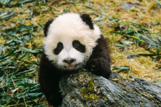 Giant Panda cub Wolong Panda Preserve Sichuan Province China