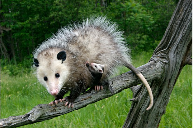 Virginia Opossum, Didelphis virginiana, female with babies clinging to her