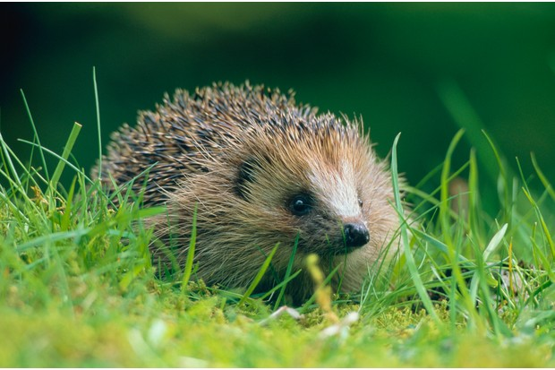 Close-up of a Hedgehog (Erinaceus europaeus) on green grass in Scottish countryside