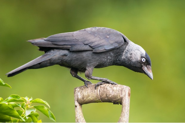 A Jackdaw (corvus monedula)
