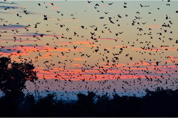 Straw-coloured Fruit Bats (Eidolon helvum), in flight at first light, Kasanka National Park, Zambia