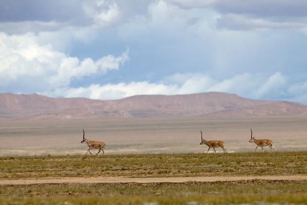 Three Tibetan antelopes migrating across the desolate Tibetan plateau