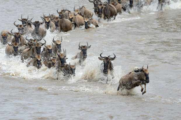 Wildebeest crossing the Mara river © Andre Anita / Getty