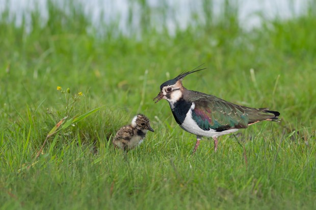 Northern lapwing (Vanellus vanellus) with chick