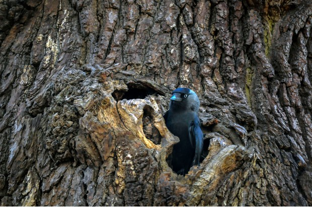 A jackdaw at the entrance to its nest in a tree