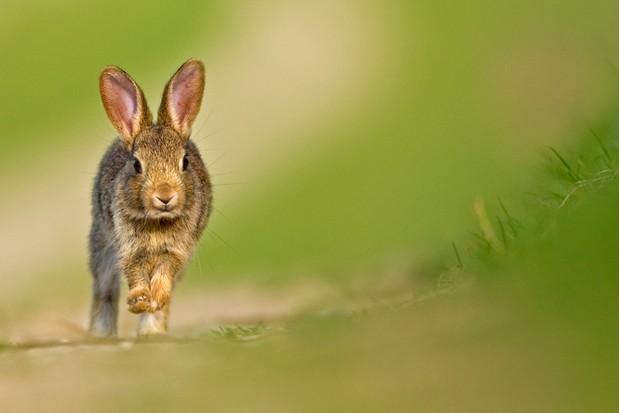 Juvenile European rabbit (Oryctolagus cuniculus)