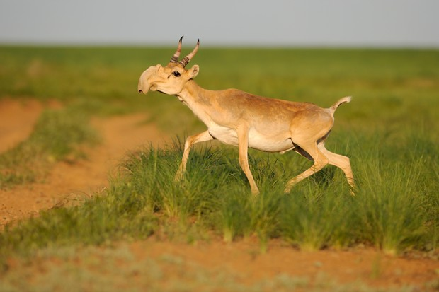 Male Saiga antelope (Saiga tatarica) running, Cherniye Zemli (Black Earth) Nature Reserve, Kalmykia, Russia
