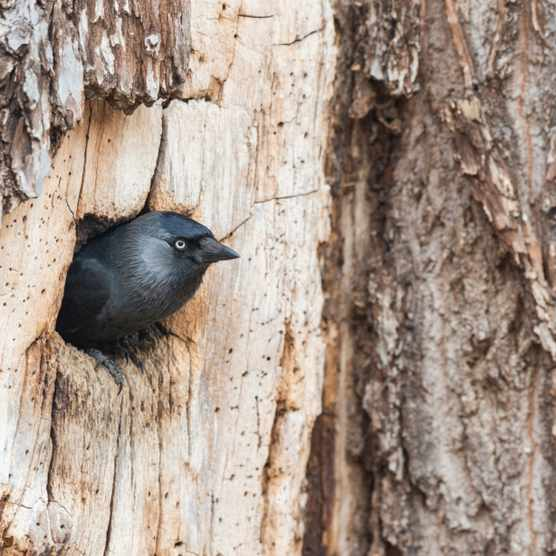 Jackdaw looking out of nest hole