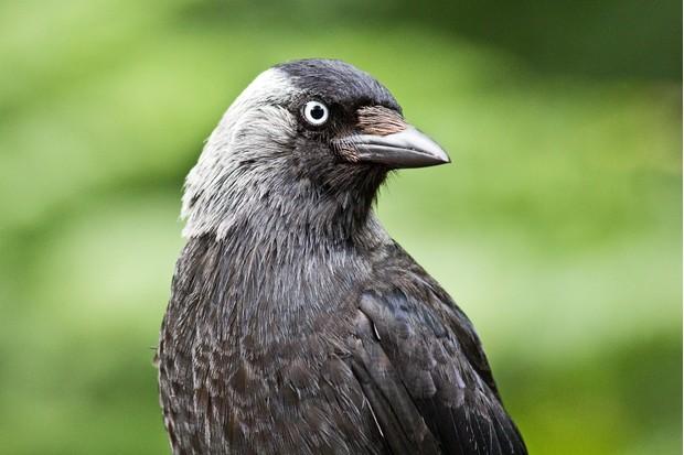Portrait of a Jackdaw (Corvus monedula) head and shoulders