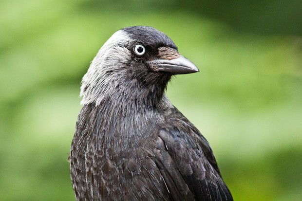 7 amazing jackdaw facts - Discover Wildlife