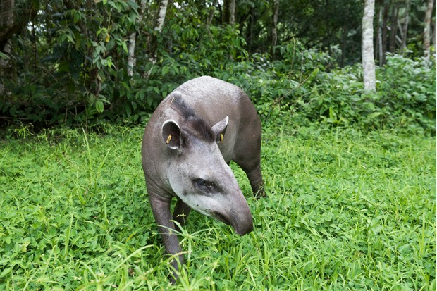Photograph of a lowland tapir (Tapirus terrestris) in green Atlantic Rainforest field, Guapiacu Ecological Reserve, Rio de Janeiro state, Brazil