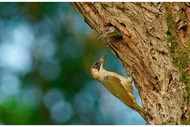 Female green woodpecker (Picus viridis) feeding her chick in nest in tree hole