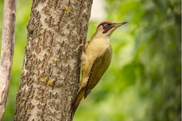 Male green woodpecker (Picus viridis) on tree trunk