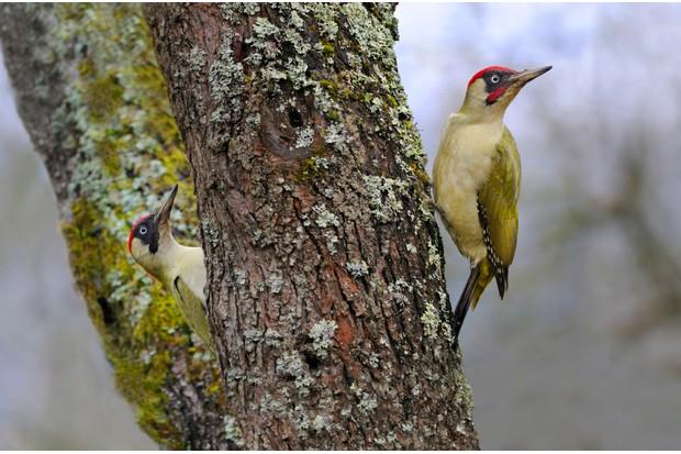 Green woodpeckers on tree trunk