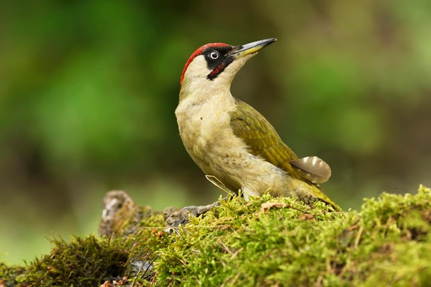 8 Green Woodpecker Facts You Need To Know Discover Wildlife