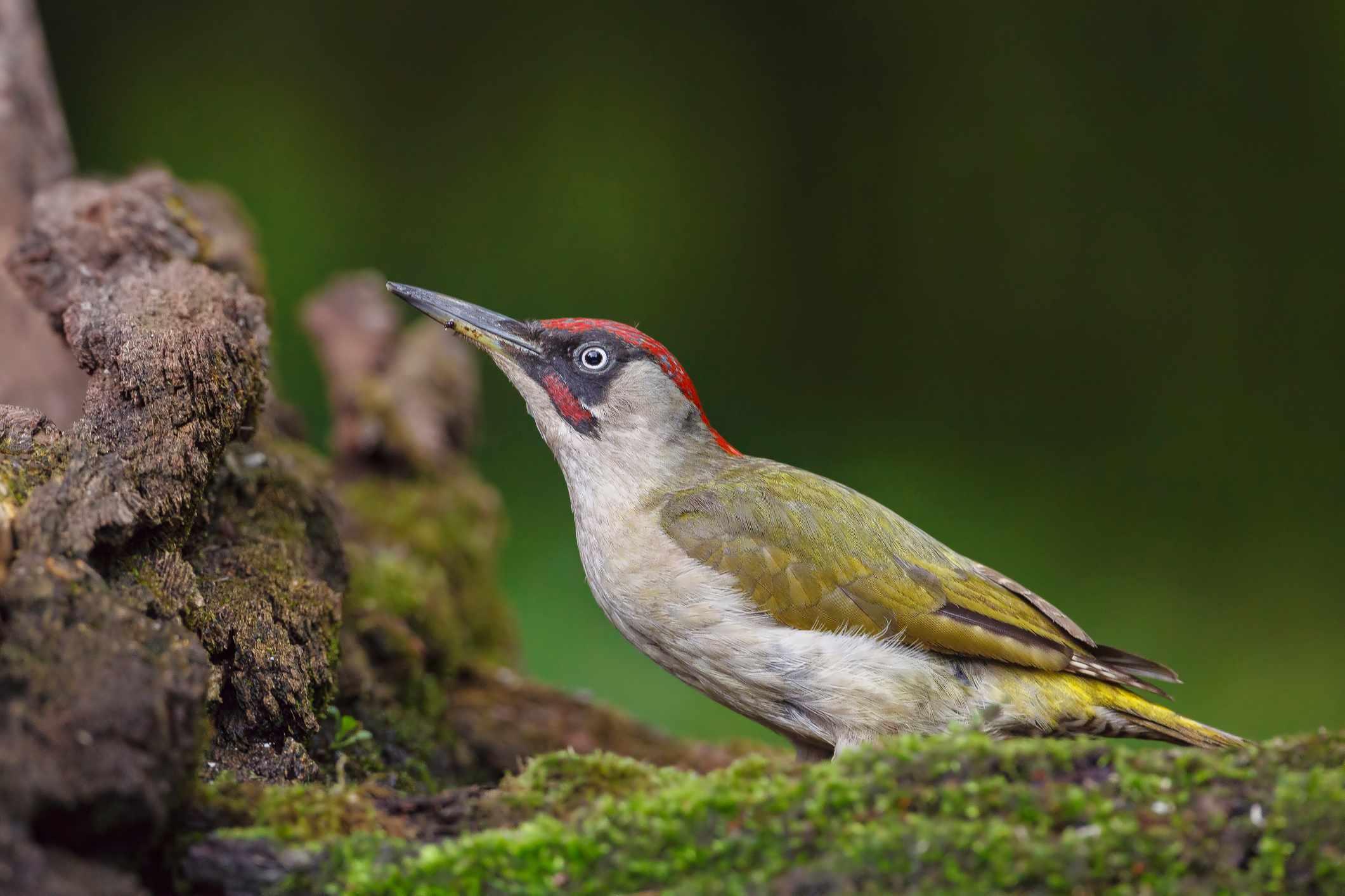 European green woodpecker (Picus viridis). © Gerhard Kummer/Getty