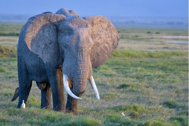 African bull elephant in Amboseli National Park