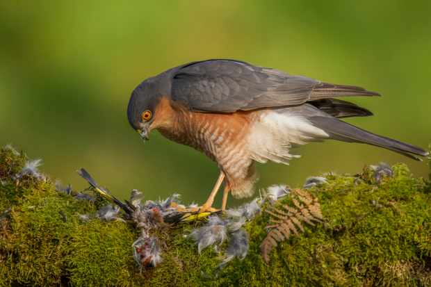 Male sparrowhawk (Accipiter nisus) perched sitting on a plucking post with prey. © DJEPhotography/Getty