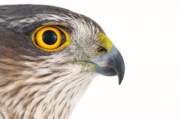Close up portrait of a female Eurasian sparrowhawk (Accipiter nisus) showing its orange eye and sharp beak