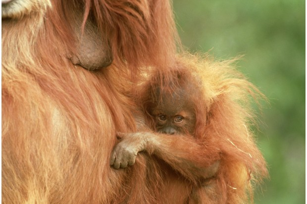 Baby orangutan (Sumatran orangutan - Pongo pygmaeus abeli) cuddling its mother