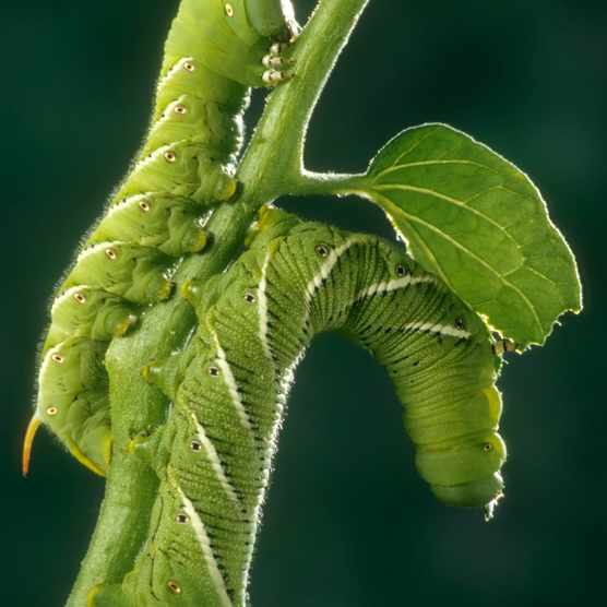 Pair of tomato hornworm caterpillars feeding on tomato plant leaves