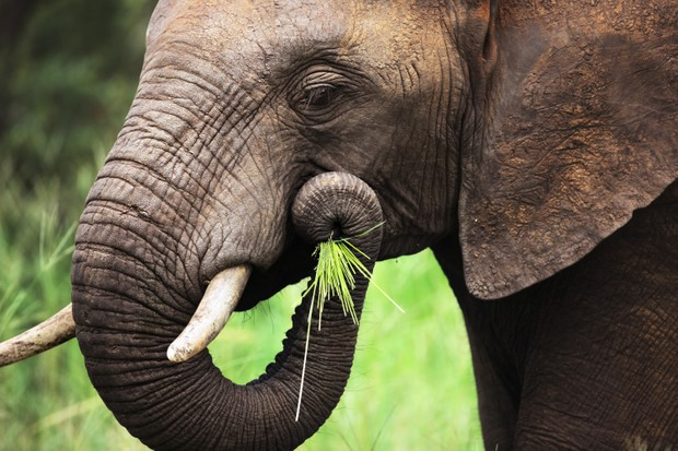 African elephant eating grass by holding it to its mouth with its trunk