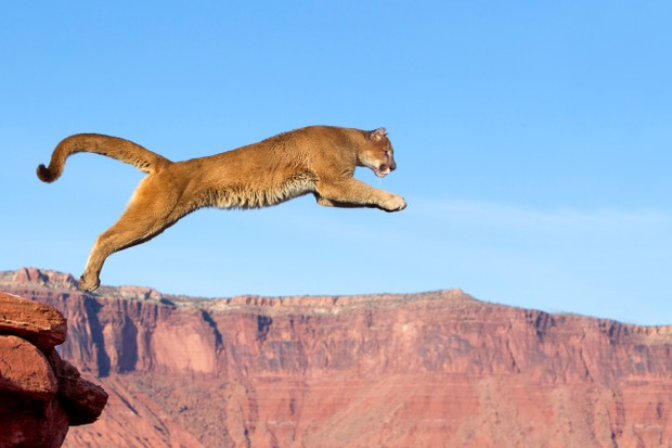 A leaping cougar aka mountain lion (Puma concolor) near Moab, Utah