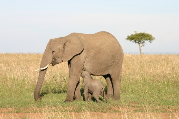 Baby elephant suckles milk from its mother on the plains of the Masai Mara, Kenya
