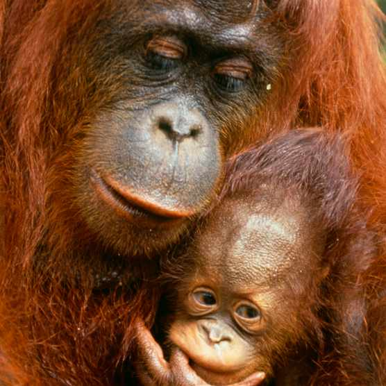 18 amazing orangutan facts (and where to see orangutans