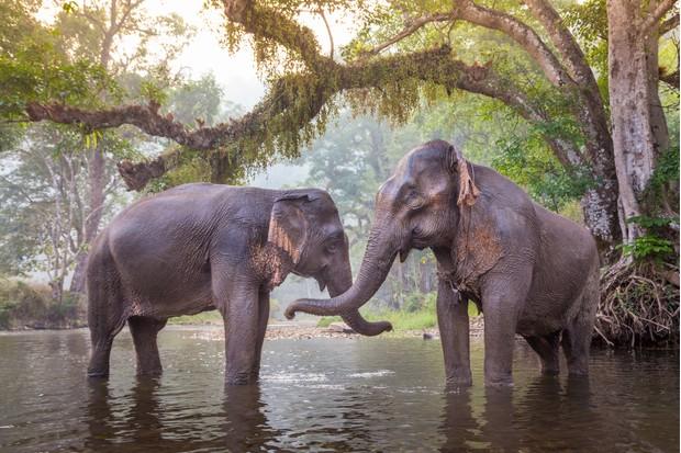 Asian elephants bonding in a river in Thailand