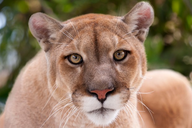 Portrait of a female panther/cougar/mountain lion