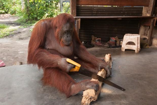 A Bornean orangutan (Pongo pygmaeus wurmbii) called Siswi sawing a piece of firewood at Camp Leakey, Tanjung Puting National Park, Borneo, Central Kalimantan, Indonesia