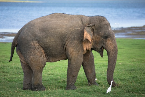 A large Asian Elephant in Minneriya National Park.