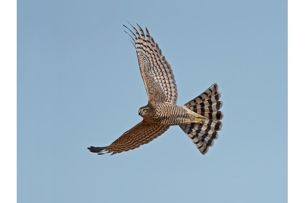 Eurasian sparrowhawk in flight with blue skies in the background