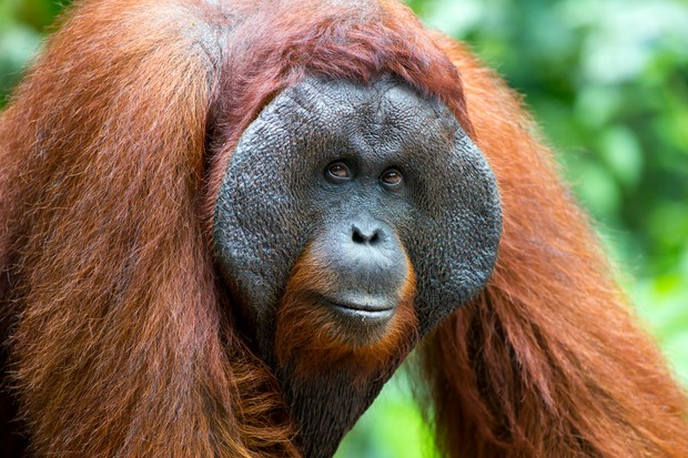 Alpha male orangutan in Borneo