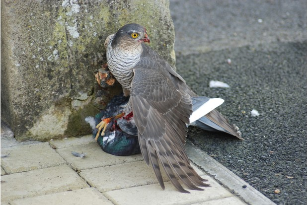 Eurasian sparrowhawk with pigeon prey on the ground in the city.