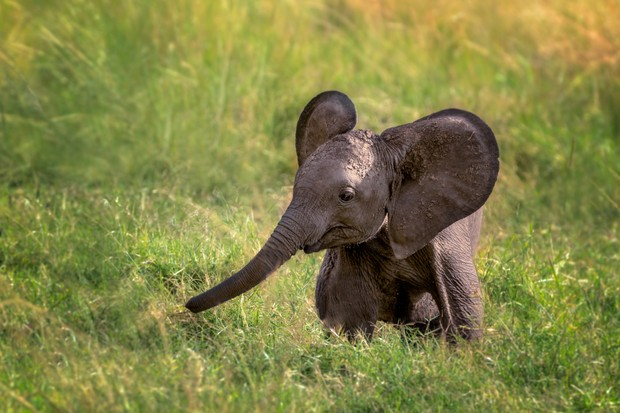Cute baby elephant in the grass