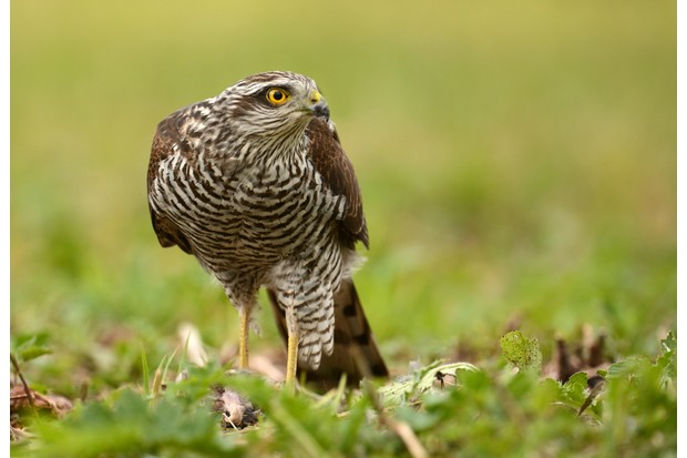 Female sparrowhawk on the ground with prey hidden by the grass and a small feather on its beak