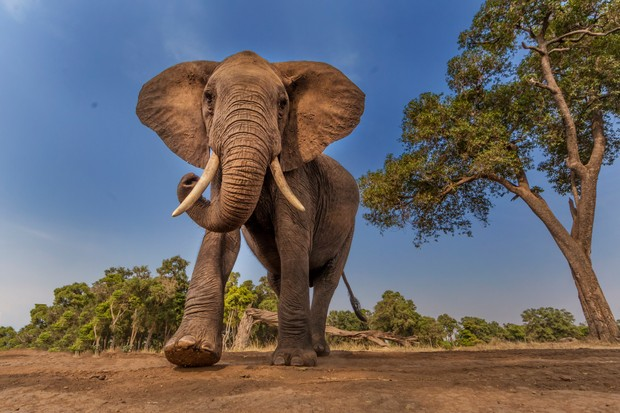 African elephant photographed from ground level in the savannah