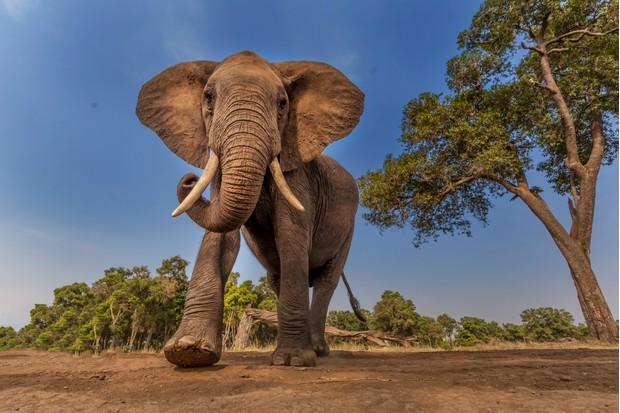 21 amazing elephant facts | African elephant facts