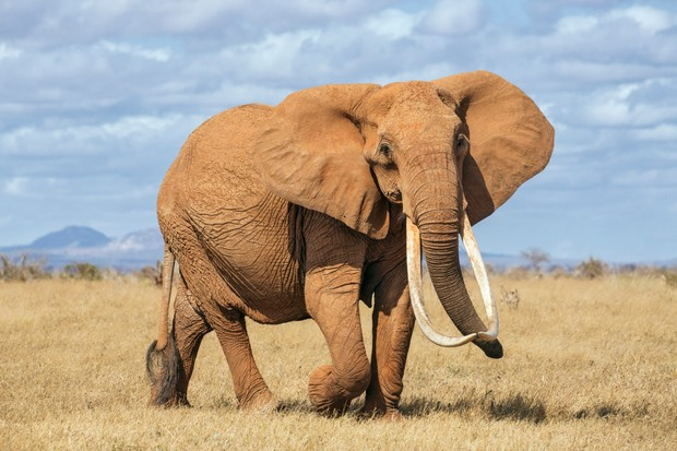 A female African elephant with impressive tusks in Tsavo East National Park