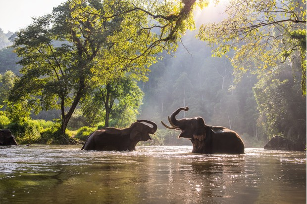 Asian elephants playing in a river