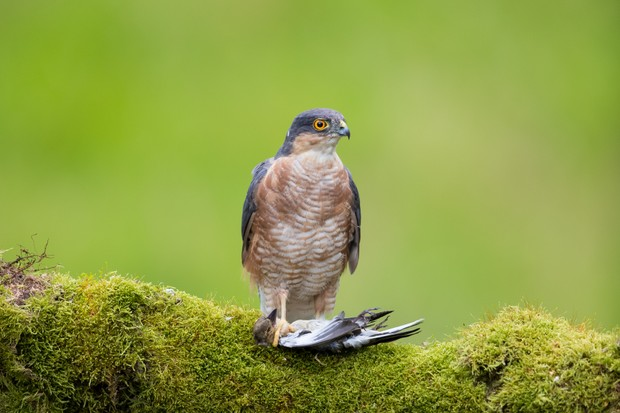 Eurasian Sparrowhawk (Accipiter nisus) with prey