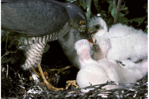 Eurasian sparrowhawk female feeding her chicks at the nest