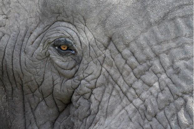 Close up of elephant skin and eye
