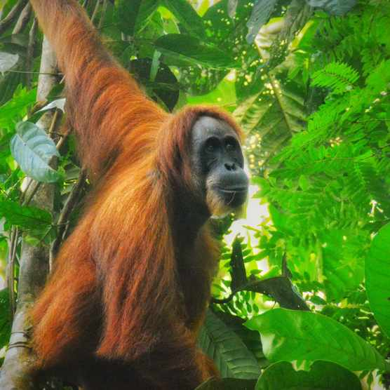 Sumatran Orangutan in their habitat